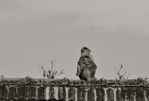 Bonnet Macaques of Agumbe Village